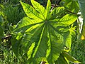 Leaf of Castor bean plant.jpg