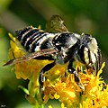 Leafcutter Bee (Megachile sp.) (8176841858).jpg