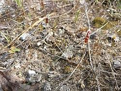 Leavenworthia uniflora.jpg