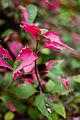 Leaves, Iresine lindenii - Flickr - nekonomania.jpg