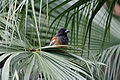 Leaves & Rufous Treepie I IMG 7800.jpg