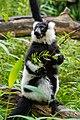 Lemur (24168817368).jpg