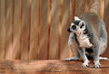 Lemur in Artis Zoo.jpg
