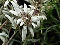 "Leontopodium alpinum, ""Edelweiss"".JPG"