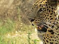 Leopard in Gir Forest National Park, India, 2016.jpg
