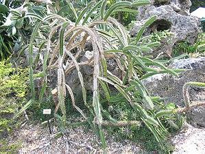 Leptocereus quadricostatus.jpg
