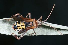 Leptoglossus occidentalis MHNT abdomen.jpg