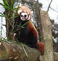 Lesser Panda eating.jpg