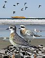 Lesser Sand Plover from The Crossley ID Guide Eastern Birds.jpg