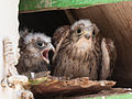 Lesser kestrel chicks - 01.jpg