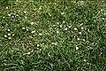 Leucanthemum vulgare (Ox-eye daisy) - Flickr - Matthew Paul Argall.jpg