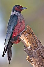 Lewis's Woodpecker.jpg