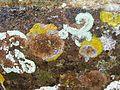 Lichen (13908608138).jpg