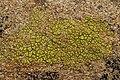 Lichen (42297826244).jpg