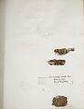 Lichenes Helvetici IX X 1833 013.jpg