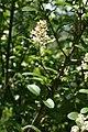 Ligustrum vulgare - img 18022.jpg
