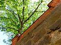 Liisankatu puu 120608.jpg