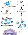 Like Decoy Ducks, Nanosponges Draw, Defeat Dangerous Toxins 150318-A-AB123-002.jpg