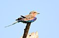 Lilac-breasted Roller, Coracias caudatusat Pilanesberg National Park, Northwest Province, South Africa (17297029699).jpg