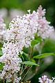 Lilac Spears (17743607364).jpg