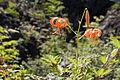 Lilium leichtlinii var. tigrinum 02.jpg
