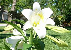 Lilly cropped from larger image
