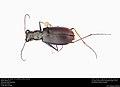 Limestone Tiger Beetle (Cicindelidia politula politula) (35668557951).jpg