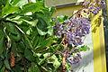 Limonium macrophyllum.jpg