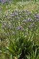 Limonium vulgare baie-authie 80 13072007 04.jpg
