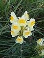Linaria vulgaris 2007.JPG
