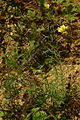 Linaria vulgaris lg1.JPG