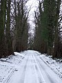 Line Of Lime Trees - geograph.org.uk - 1656776.jpg