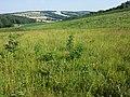 Linum hirsutum (subsp. hirsutum) sl51.jpg