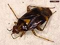 Liocoris tripustulatus (38980894850).jpg