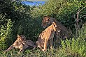 Lion (Panthera leo) females Chobe.jpg