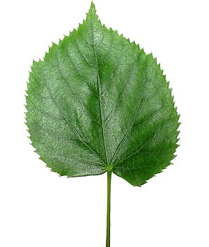 Leaf - Leaf of Tilia tomentosa (Silver lime tree)
