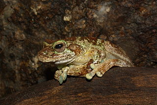 Green-eyed tree frog species of amphibian