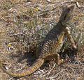 Lizard 09 12 06.jpg