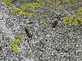 Llagostes sobre l'estany Petit de la Pera P1030353.JPG