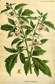 Loasaceae family of plants