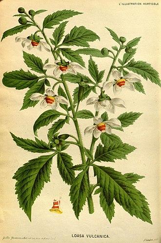Loasaceae - Loasa vulcanica