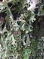 Lobaria macaronesica C. Cornejo & Scheid 407113.jpg