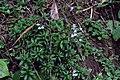 Lobelia sp. (Campanulaceae) (24996509553).jpg