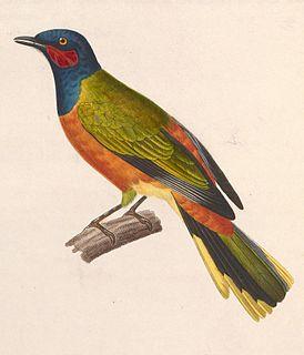 Western wattled cuckooshrike species of bird