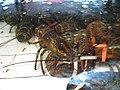 Lobsters! (3110147157).jpg