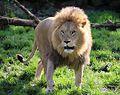 Loewe Panthera leo Tierpark Hellabrunn-5.jpg