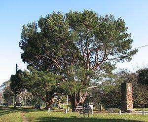 Wattle Park, Melbourne - Image: Lone Pine Wattle Park