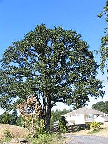 Quercus Garryana Wikipedia