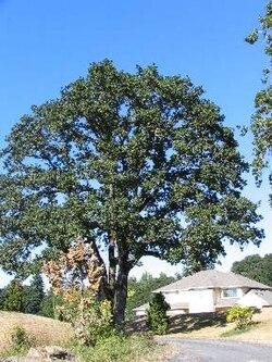 Quercus Garryana Wikipedia La Enciclopedia Libre