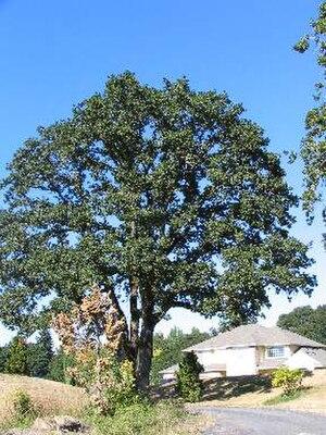 Quercus garryana - Mature Garry oak